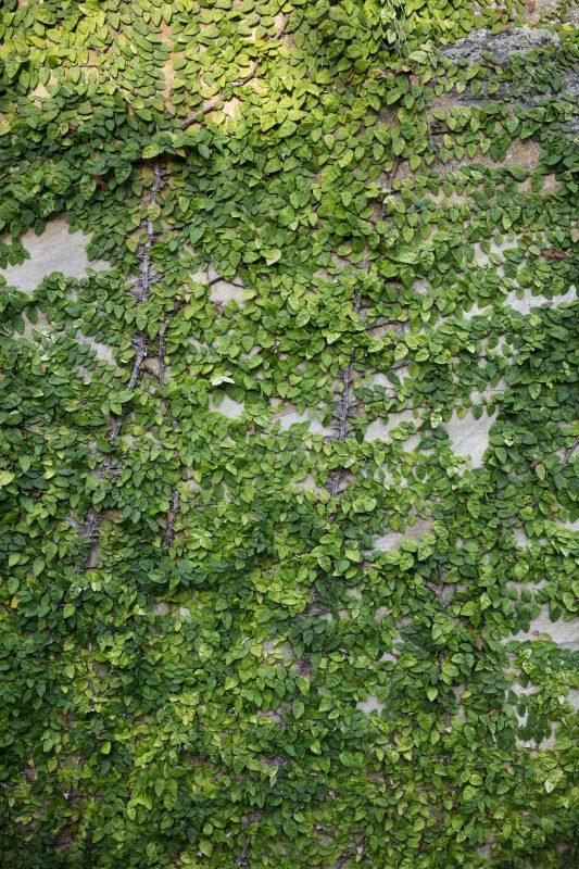Verdant-Climber-Greens-Concrete-Wall